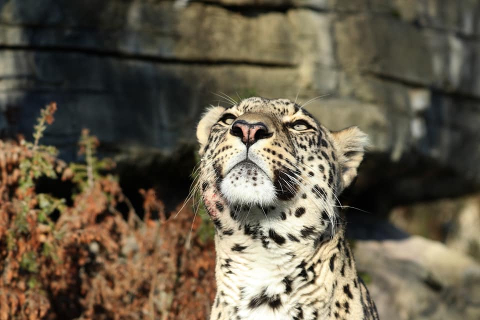 Sadeg und Safira (Persischer Leopard) im Tierpark Bern, Dählhölzli + BärenPark